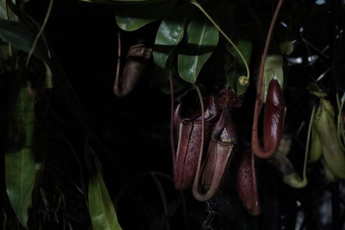 展示してある食虫植物の中には、LEDの小さなライトがセットされていて内側から照らされるライトによって、植物が持つ模様や脈が神秘的に浮き上がりいつもと違う視点から植物を楽しむ事が出来るアイデアにも驚かされます。