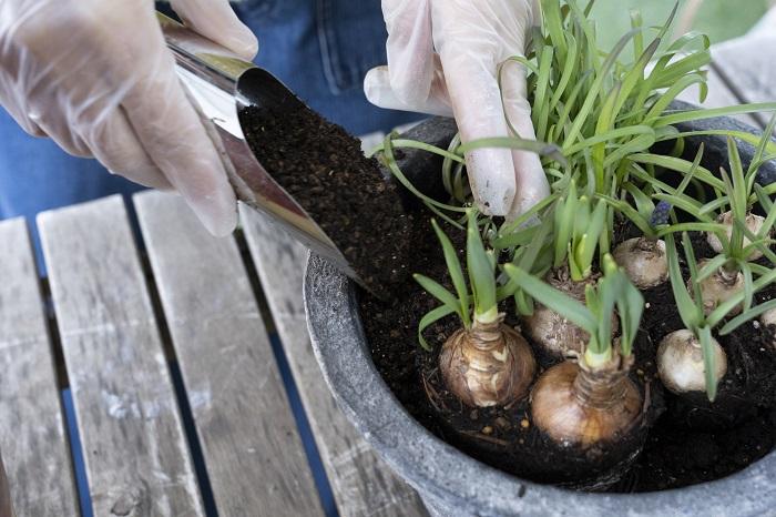 苗の隙間にしっかりと土を入れます。水をあげた時に土が沈み込んで苗がむき出しになってしまうことがあります。この時にしっかりと土を入れておきましょう。