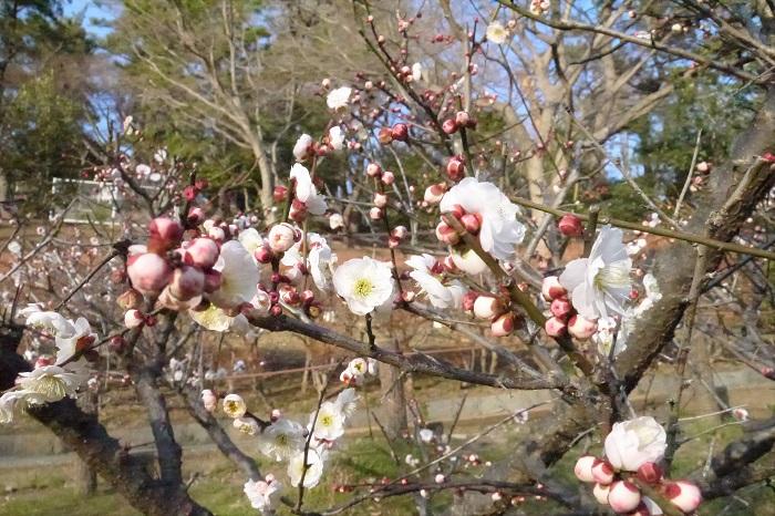 丸いきれいな花の形が魅力的な白梅です。ほんのり色づいた蕾も可愛らしい。