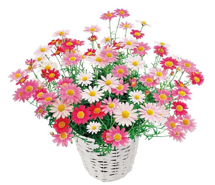 PWマークがついたお花は、国際的に行われる厳しい選抜試験をクリアした品種ばかり。だからビギナーでも育てやすく、はじめてお花を育てる人にもおすすめです。