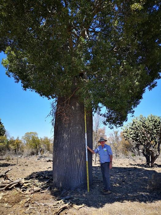 そしてまたもやとても良い形のボトルツリーを発見。どちらも高さは約10m 胴回り幅2.1m