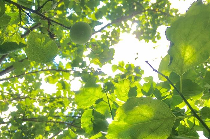 何年も植えっぱなしの梅の木の花付きが悪くなってきた、ということはありませんか?剪定を行っていないからかもしれません。「桜切る馬鹿、梅切らぬ馬鹿」という言葉があるように、梅は剪定をした方が花付きが良くなる樹木です。  初夏に徒長した枝の剪定を行います。同じように長く伸びた枝も切って枝を短く整えます。短く充実した枝の方が萌芽力が強くなります。梅は7~8月には翌年の花芽の準備に入るので、その前に剪定を済ませるようにしましょう。  他に「仕立て直し」と言って、新しい枝を出す為に古く太い枝を剪定する作業があります。この仕立て直しは剪定時期や位置により、その後の開花や樹形に大きく影響をする作業です。不安な場合は植木屋さんにお願いしましょう。