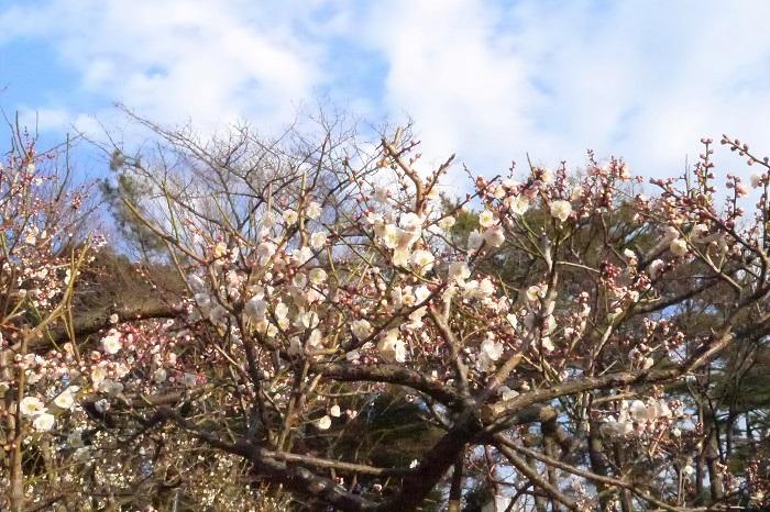 八重咲の白梅種。花付きが良くとてもいい香りです。