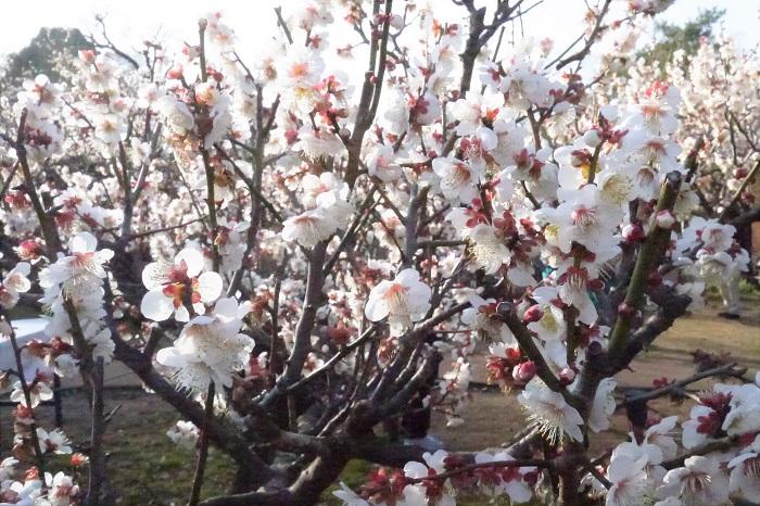 冬至の頃から咲き始めるからというのが名前の由来です。早咲きの品種です。