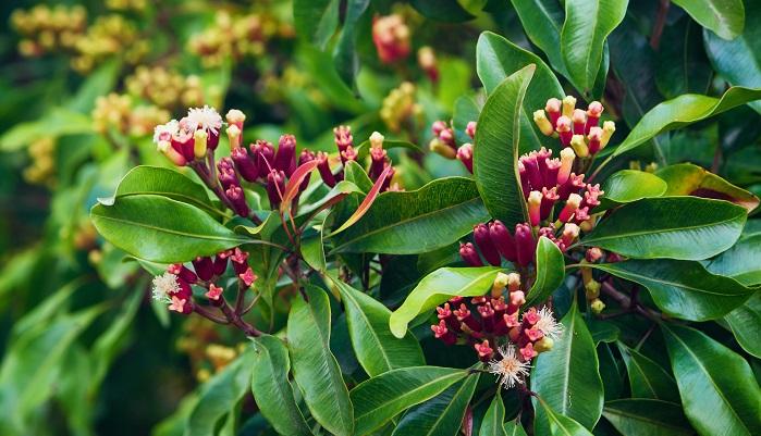 クローブはナツメグ同様インドのモルッカ諸島が原産地です。フトモモ科のチョウジノキという植物からとることができます。クローブはスパイスの中では珍しく、花蕾(からい)というつぼみを乾燥させてスパイスにしています。年二回収穫できますが、クローブの木は10mほどにもなり、非常に高い位置に蕾をつけるためやぐらを組むなどして収穫を行っていたため、ほかのスパイスと比較しても高価でした。