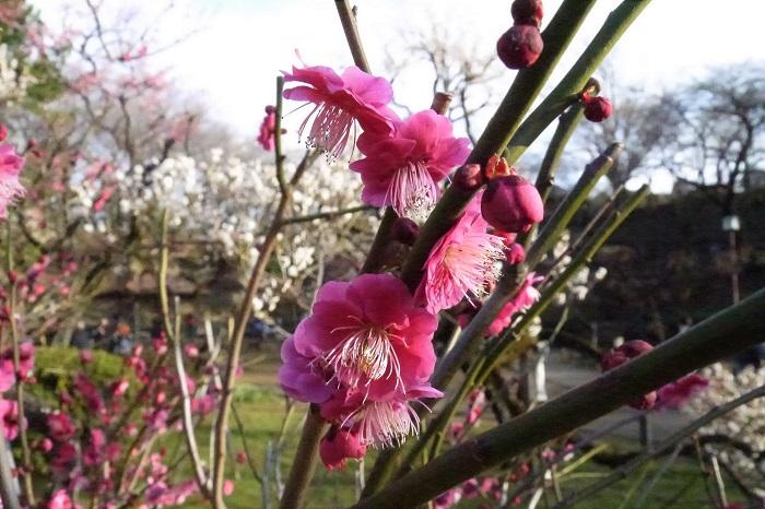 八重咲の紅梅です。赤というよりマゼンダピンクといったところでしょうか。