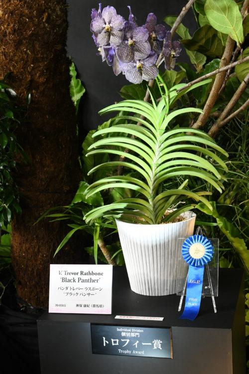 ラン展では各カテゴリーの最優秀株を並べたコーナーが設けられ、「お立ち台」なんて呼ばれることもあります。今回の世界らん展2019ではお立ち台は黒を基調としたディスプレイで、そこここにカポックやシェフレラなどの観葉植物が並べられるというしつらえ。そのため、どのランも植物に囲まれて飾られています。
