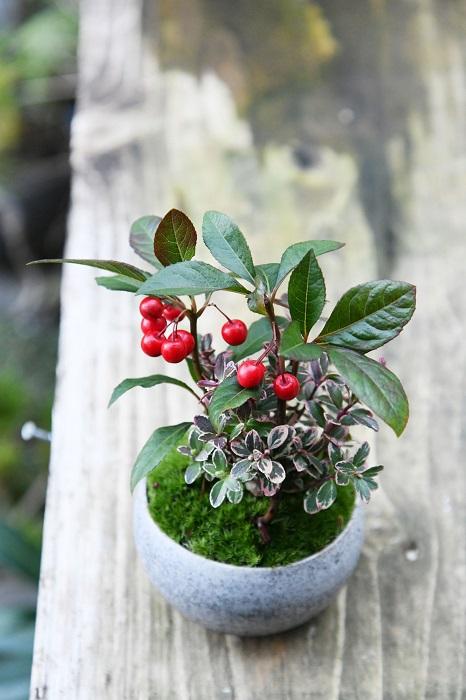 常緑のヤブコウジとコケモモを寄せ、目にも鮮やかな苔をきれいに葉って仕上げた盆栽。  「赤い実だけでなく、花も楽しめる寄せ植えです。常緑のヤブコウジのグリーンと苔のグリーンに、斑入りのコケモモがアクセントになっています。」