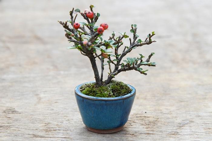 盆栽を始めたら、一つは育てて見たいのが果実をつける実もの。 実をつけさせるためには、花が咲く芽がつく枝を作り、それを咲かせ、結実するところまでしっかり育てなくてはなりません。 その点、バラ科の常緑低木である紅紫檀はオススメだそう。 「ベニシタンは放任でも実がつきやすいので、最初にチャレンジする実ものとしてはオススメの樹種です。 枝や芽の吹きもよいので、剪定で間違った枝を切ってしまってもすぐに枝が作り直せるのも初心者向きといえます。 かなり強く剪定しても花が咲いて実もつくのも嬉しいところ。 花は初夏に咲いて、秋には実がなり、冬の間中楽しむことができます。 比較的丈夫で育てやすいのですが、水を好むので、水のやり忘れにだけは注意してください。」