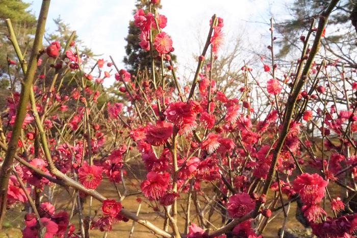 深紅と言ってもいいくらい真赤な紅梅です。多くの花が咲く梅林の中でも人目を引く色です。