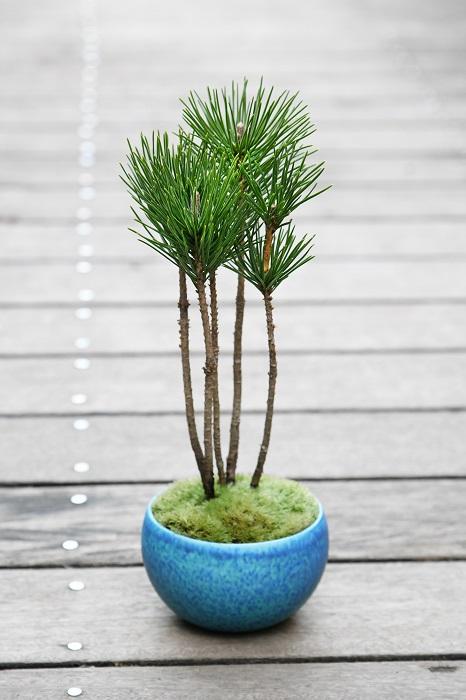 本来クロマツはまっすぐ上に伸びる植物です。そのすらっとした姿を生かし、すっきりとまとめた盆栽。  「松は「木に神様が宿るのを待つ(マツ)」に通じることから、古くから縁起がよいと考えられてきた樹木。そのことから、お正月には松飾りなどにも使われますよね。 この盆栽も、お正月には若松として飾るなど、日本の冬を彩る植物として楽しんでいただけます。 そのまますっきりとした姿を楽しんでよし、ここから針金掛けをして風情を出すのもよしの逸品です。」