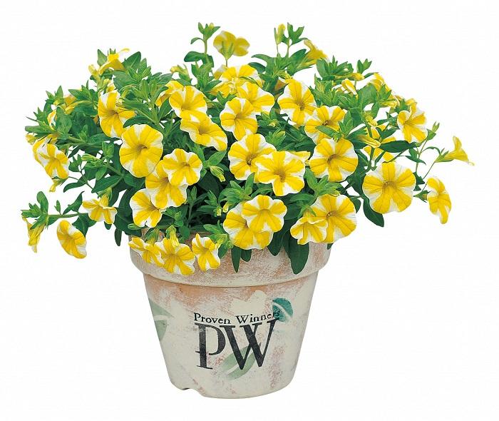 世界中の育種家が、花の色や大きさ、かたち等にこだわりぬいて選抜しているので、見た目もひと際かわいい品種ばかりです。