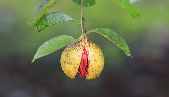 ニクズク科ニクズク属の常緑高木です。杏子やスモモに似た黄色い果実が実り、熟すと実が裂け赤い格子状の仮種子が見えるようになります。この赤い仮種子は別のスパイスで「メース」と言います。種子を乾燥させ、種子の中の仁を分離させ、種を割り仁だけ取り出してすりつぶしたものがナツメグです。原産地はインドのモルッカ諸島のなかにあるバンダ諸島です。