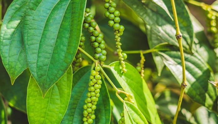 コショウ科コショウ属のつる性植物。実を乾燥させてコショウに使用します。ブラックペッパー、ホワイトペッパー、グリーンペッパーの3種類がありますが、植物の種類が異なるわけではなく、収穫時期や加工方法が違うんだそうです。ピンクペッパーは形状が似ていますが、コショウの実ではなくコショウと全く関係のないコショウボクという木の実を乾燥させたものです。