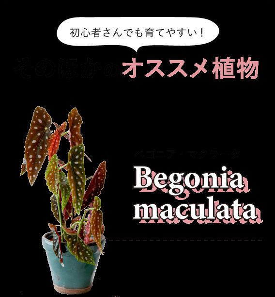 初心者さんでも育てやすい!そのほかのオススメ植物 ベゴニア・マクラータ