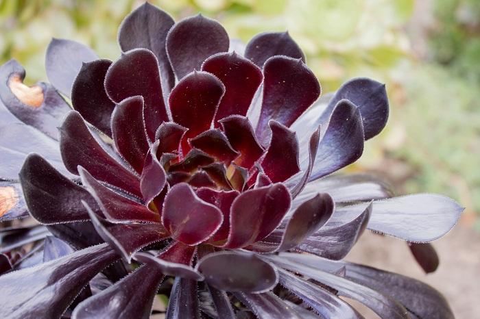 """クロホウシ 科名:ベンケイソウ科  学名:Aeonium arboreum  分類:常緑多肉植物  特徴:肉厚でしっかりとした葉をもつ多肉植物。葉が黒いのが名前の所以です。つるつるとした人工物のようなテクスチャーが特徴的です。グラス類のなかで、色でもテクスチャーでも空間を引き締める役割を担ってくれるオーナメンタルプランツです。  育て方:強健です。日当たり良く乾燥した場所でよく育ちます。日照が足りないと徒長(茎が間延びすること)してしまうので、お日様にしっかりと当てるようにしてください。  <div class=""""posttype-library shortcode""""><div id=""""postMain"""" class=""""full""""><article class=""""library-list-tax""""><a href=""""https://lovegreen.net/library/succulent-plants/aeonium/p88907/"""" class=""""clickable""""></a>    <div class=""""library-list-ttl clearfix"""">    <h2 class=""""library-list-ttl-text""""><span class=""""library-list-ttl-text-inner"""">クロホウシ(黒法師)</span></h2>     <div class=""""library-list-types"""">     <a href=""""/library/type/succulent-plants"""" class=""""library-list-type <?php echo $slug; ?>"""">多肉植物</a><a href=""""/library/type/aeonium"""" class=""""library-list-type <?php echo $slug; ?>"""">アエオニウム</a>    </div>  </div>   <div class=""""thumbnail"""" style=""""background:url(https://lovegreen.net/wp-content/uploads/2017/04/a394021804f27d072028ff9b5f4eb17b-300x225.jpg) no-repeat center/cover;""""></div>   <div class=""""top-post-ttl-extext"""">           <ul class=""""library-list-list"""">           <li class=""""library-list-item""""><p>冬型の多肉の代表ともいえる黒法師。アエオニウムの中で最もポピュラーな品種です。茎の上部にロゼット状の葉っぱを付け、まるでお花が咲いているような株立ち姿。上に伸びて生長していきます。</p> <p>光沢のある黒紫の葉は特徴的で、人気の多肉植物です。冬に生長し夏は休眠します。</p> </li>       </ul>       </div> </article></div></div>  ユーフォルビア・アミグダロイデス 科名:トウダイグサ科  学名:Euphorbia amygdaloides  分類:多年草  特徴:深い紫色のような赤銅色のような葉と茎に対して明るい黄味の強いグリーンのコントラストが見事なユーフォルビア。単品でも絵になるオーナメンタルプランツです。グラス類と合わせると色でもテクスチャーでも周囲の景色に変化を与えてくれます。  育て方:日当たり良く乾燥した場所が好きです。蒸れを嫌いますので、夏の水やりに気をつけてください。  ロシアンセージ 科名:シソ科  学名:Perovskia atriplicifolia  分類:多年草  特徴:蒸れに弱いので風通しよく管理してあげてください。暑い夏に青紫の可憐で小さな花を咲かせてくれます。どうしても硬いテクスチャーの植物が多くなりがちなグラスガーデンのなかで、ふわりと柔らかい雰囲気を出してくれます。  育て方:日当たりと乾燥が好きです。蒸れが苦手なので、風通しよく管理しましょう。"""