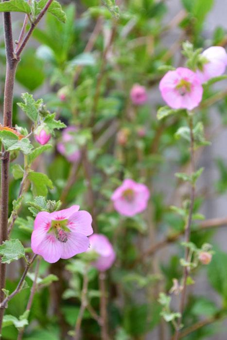 以前、別の記事でご紹介した低木、アニソドンテア・マルバストロイデス。3月半ば現在、まだ連続開花中です。この花は、いつ休むのでしょうか。