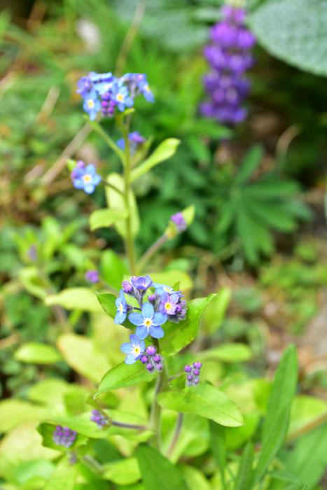 ワスレナグサ  こちらもボリジ同様、こぼれ種のワスレナグサ。元々植えた場所とはまったく違う場所のあちこちで開花しています。今年の一番花は3月中旬でした。