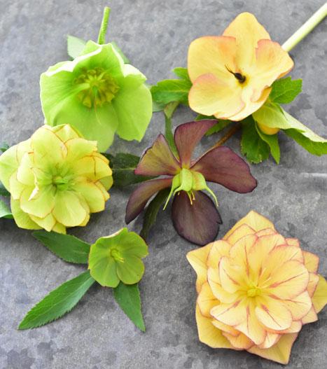 クリスマスローズの花を十分に楽しんだら、花茎・花がらを切りましょう。  クリスマスローズは種を作ると株も疲れます。初めて開花したばかりの未熟な苗は種取を止め、体力を温存させるためにも種を作る前に花茎・花がらを切り、花瓶などに活けるなどして楽しみましょう。  種を取る取らないにかかわらず、遅くとも梅雨前には花茎・花がらを株元から切りましょう。 この時、有茎種のクリスマスローズは新しい茎の有無を確かめましょう。新しい茎が出ていない場合は花茎を根元から切ると、ショックで株全体が枯れてしまします。  その場合は、種を取って株を更新させましょう。 種を取る場合は、花に袋やネットをかけ、種が飛び散らないように注意しましょう。