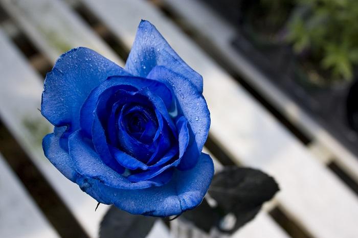 青いバラの花言葉は「夢かなう」「神の祝福」。