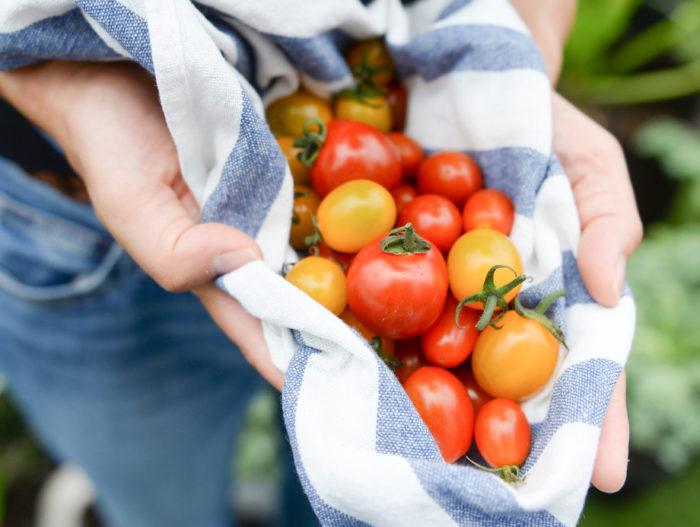 そして家庭菜園と言えばみんな大好きミニトマト!今回はただ収穫を目指すのではなく、いかにたくさん、甘いミニトマトを作れるか、を紹介しています。  実はなるけれど、なんだか酸っぱいミニトマトができちゃう……という方にはぜひ見ていただきたい内容です。
