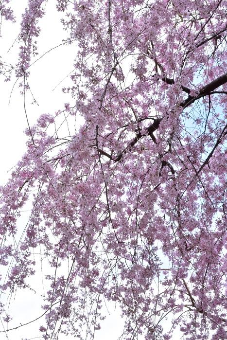 八重桜の花言葉は「おしとやか」「豊かな教養」