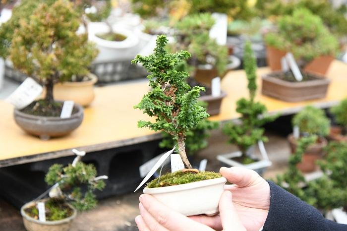 最近、グリーン好きの間で人気が高くなってきている盆栽。  和のテイストを持っていて、身の回りにちょっと置いておくだけで、雰囲気ががらっと変わります。  園芸店やガーデンセンターで、ポリポットに植えられて販売されているものがありますが、あれは盆栽の素材用の苗木です。  盆栽にするように根鉢を詰めて育てられていないため、そのまま育てると枝が伸びすぎて扱いにくいことがあります。  また、素材から盆栽に仕上げていくのには時間も技術も必要になります。  まずは、ある程度盆栽として作り込まれているものを手に入れて、手入れの仕方などを少しずつ身につけながら育てていくのがオススメです。