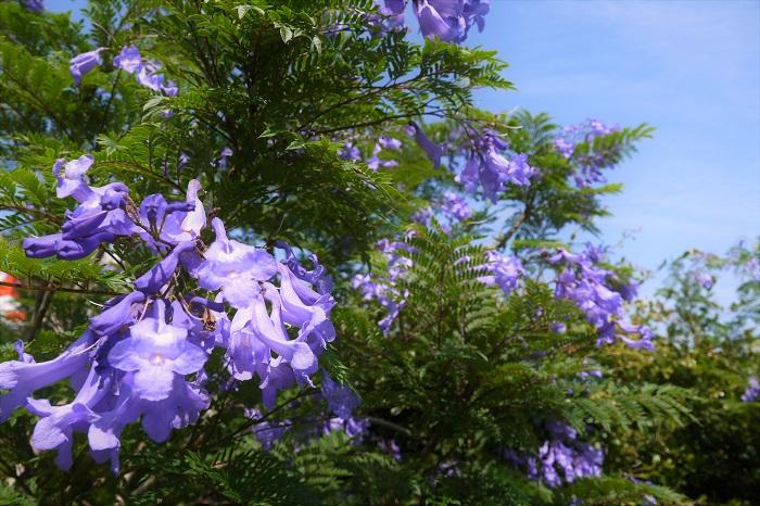 ジャカランダは、樹木が大きく生長しないと花芽が付きません。樹木が生長するには温度と日照等の必要条件があり、日本では冬を越せず生長できないので、難しいと言われています。  花付きの鉢植えは実は接ぎ木? 高木にならないと花が咲かないとは言っても、やはり生で咲いているお花を見たいもの。「写真だけでは満足できない!」という方は、花付きのジャカランダの鉢植えもあります。時々、観葉植物として出まわっています。小型のジャガランダの鉢植えに数輪のお花が咲いていますので、インテリアグリーンとして楽しむことができます。  ただし、この小さな鉢植えのジャカランダの花は接ぎ木です。花の付いた枝を小さなジャカランダの樹に仕込んだもので、自力で花芽をつけたものではありません。残念ながら翌年のお花は楽しめません。鉢植え自体は冬越しさえ無事にできれば、インテリアグリーンとして長く楽しめます。