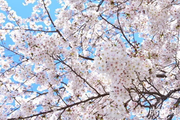 桜(サクラ)は卒業から入学の時期に咲く、日本の春の花代表ともいえるような樹木です。  桜(サクラ)の特徴として、開花している花は比較的短い枝に付いています。桜(サクラ)の花の色は種類にもよりますが、白、薄桃色、濃い桃色などをしています。花びらも一重や八重があります。桜(サクラ)は種類によっては、赤い果実(さくらんぼ)を6月頃付けるものもあります。