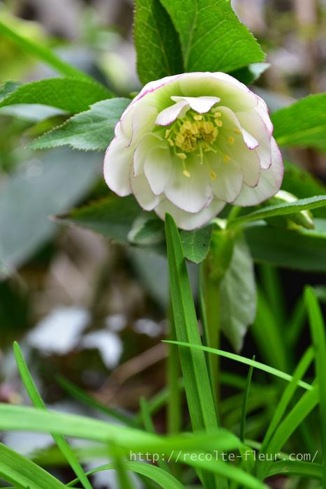 クリスマスローズ・ホワイトオーケストラ  昨年、苗で買ったメリクロン苗のクリスマスローズ。今年は咲かないかなと思ったら、咲いてくれました。  市販されているほとんどのクリスマスローズは、種から育てた実生苗(みしょうなえ)。ひとつひとつ色や咲き方などが違うため、開花株を買うのがおすすめです。  一方、メリクロン苗は無菌状態で培養して増やした苗のことで、同じ形や色の花を咲きます。プランツタグに「ラベルと同じ花が咲きます」などと書いてあることもあります。好みの色や咲き方のものがメリクロン苗で見つかれば、開花していない時期に購入しても、必ず同じ花が咲きます。