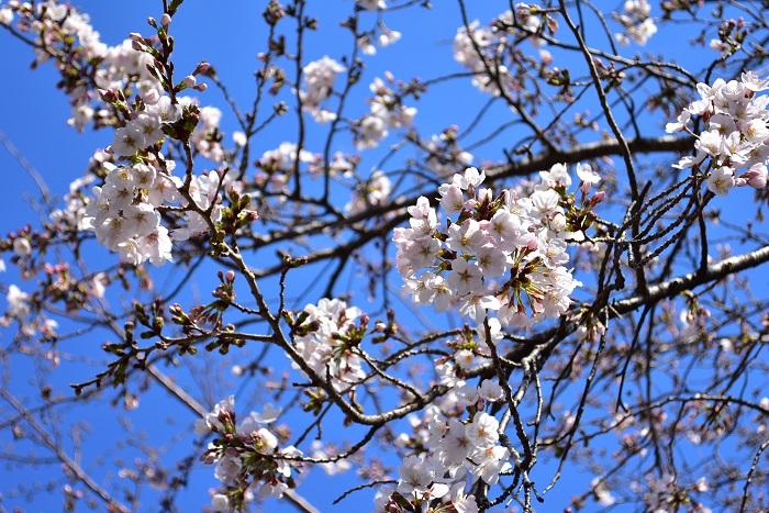 「桜(サクラ)」の花言葉は「精神の美」「優雅な女性」