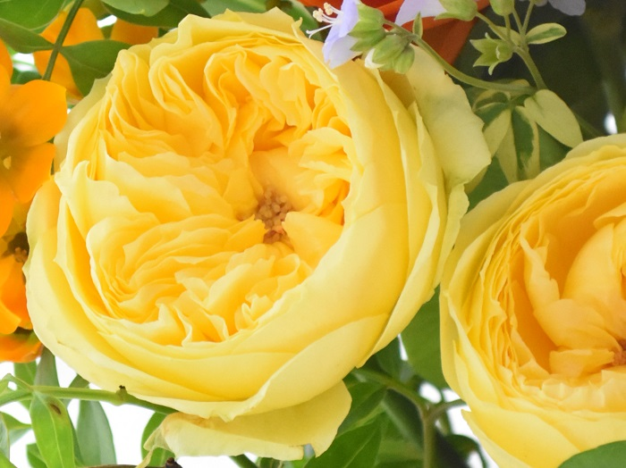 黄色のバラの花言葉は「友情」「平和」。