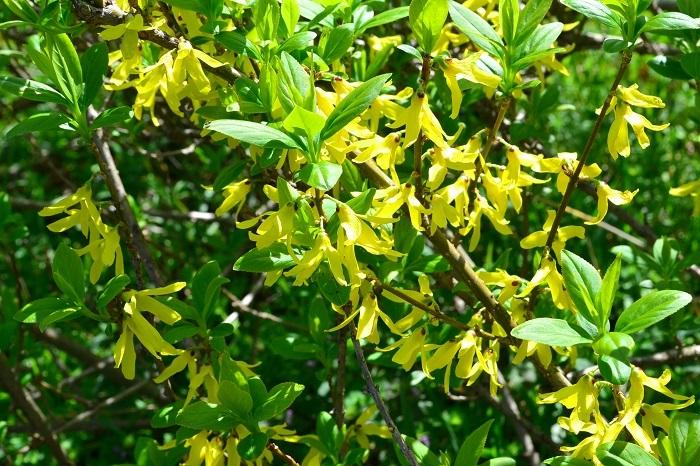 3月4月に咲く春の花 レンギョウ