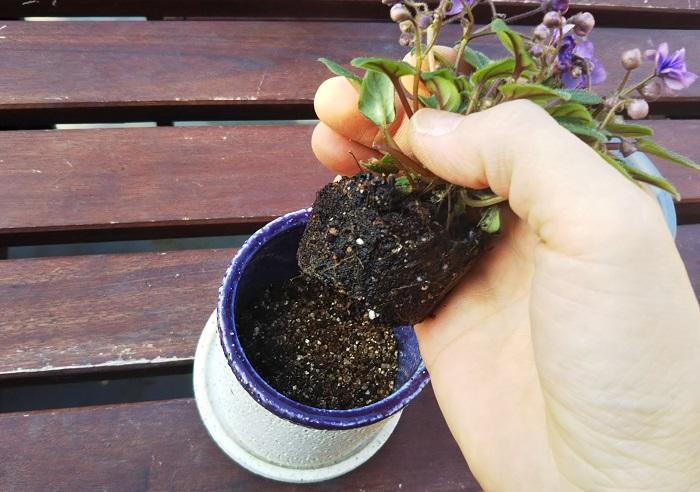 茎が折れやすいので優しく扱いながら植え替えます。