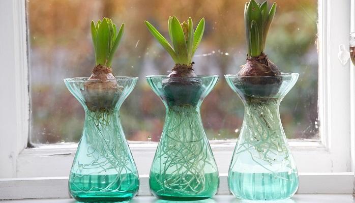 ヒヤシンスに代表される球根植物はいわゆる水栽培が可能です。ただ日当たりを必要とするので、窓際に置いておくことが必要です。  ヒヤシンス以外にもムスカリ、クロッカス、チューリップなど楽しむことができます。  ただ球根を水栽培するときは、秋口のスタートが基本なので、時期に注意しましょう。