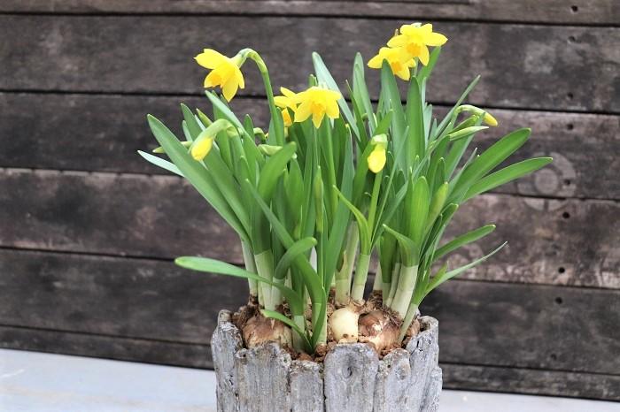 その後まもなく、スイセンの花が器いっぱいに次々と咲きました。