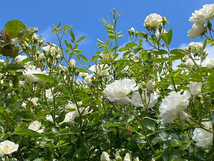 白いバラの花言葉は「尊敬」「純潔」。