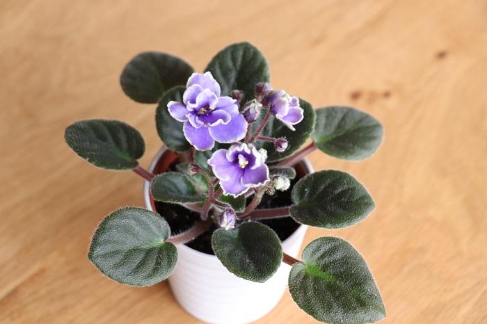 ミニセントポーリアの魅力は、まず、室内で花を育てられること。室内で花を楽しめる植物を探すとなかなか無いのですが、ミニセントポーリアは普通サイズのセントポーリアとともに、室内で花を咲かせる植物の代表と言っても良いと思います。  今回紹介するミニセントポーリアは直径6㎝ほどの器に入った手のひらサイズ。小さいので狭い場所でも楽しめます。小さい株にたくさんの花をつけます。