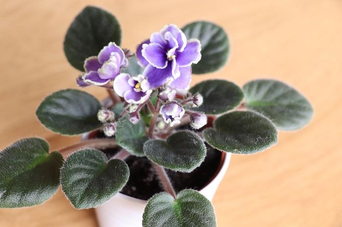 つぼみをたくさんつけ、次々と花を咲かせる準備をしている姿がなんとも愛らしいですね。