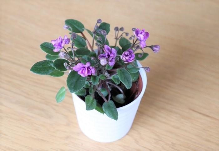 花や葉の形、色も変化に富んで美しく、このような八重咲きのミニセントポーリアもあります。