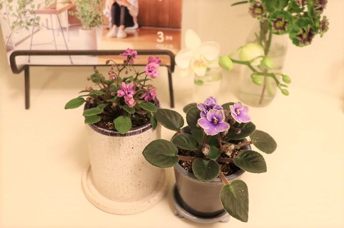 さらにひと手間かけて、おしゃれなミニサイズの鉢に植え替えて飾ってみました。見た目も美しく、鉢カバーの中に水がたまることも無く、ミニセントポーリアが生き生きと育ちそうですね。  ミニセントポーリアは、インテリアとしても室内で素敵に飾れます。コンパクトなので移動も簡単。その時の気分で室内の好きな場所に飾ることができて楽しさいっぱいです。