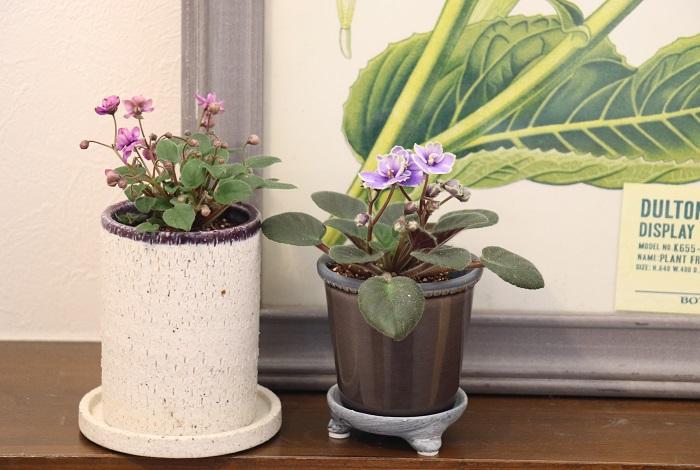 「ミニセントポーリアが好む生育環境は、人間が快適に感じる室内環境と似ている。」それを聞くととても親しみがわいてしまいます。ミニセントポーリアは室内で育てるので、天候や寒さ暑さに関係なく、昼でも夜でも手入れをして楽しむことができ、場所をとらない優れもの。ぜひ、室内で上手に育てて周年花を咲かせて楽しんでくださいね。