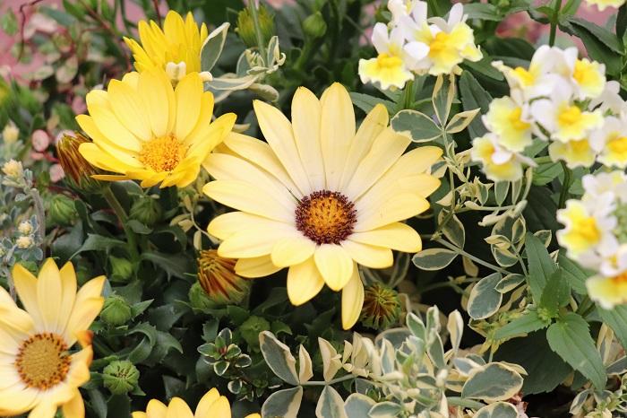 寄せ植えを上手に管理して、長い期間楽しみましょう。  置く場所 屋外の日なたに置きます。  肥料 肥料入り培養土を使うので、1カ月後から水やりをかねて液肥や固形肥料を与えます。  花がら取り こまめに花がらを取って、次の花をどんどん咲かせましょう。  水やり 天気の良い日は毎日お水をあげましょう。雨後などで土の表面が湿っている日は水やりをやめて、土の表面が乾いてからあげます。お水は花や葉にかけるのではなく、株もとからあげることで美しく育ちます。