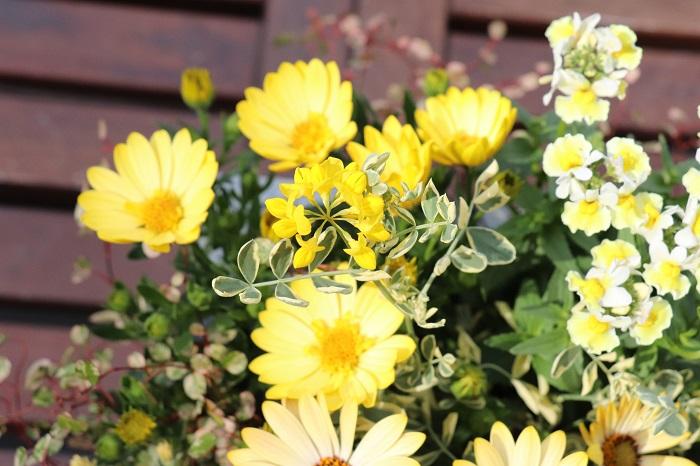 コロニラの茎もしなやかに伸びて花が咲き始めました。  今回は思い切りイエローな寄せ植えを作ろうと決めて、花だけでなくリーフ類にもイエローが含まれているものを選び、寄せ植え全体でイエローを表現してみました。  ピンク系のオステオスペルマムやネメシアを使って、ピンクを含むリーフ類を合わせたら、同じ花を使っても今回とは全く違う雰囲気のピンク系の寄せ植えができますね。オステオスペルマムもネメシアも色が豊富なので、パープル系、ホワイト系など、テーマカーラごとの寄せ植えが作れます。好きな色の寄せ植えを玄関やベランダ、お庭に飾って育てたら、気分も上がって気持ちよく過ごせそうですね。ぜひ、お気に入りの色の寄せ植えを作ってお楽しみください。