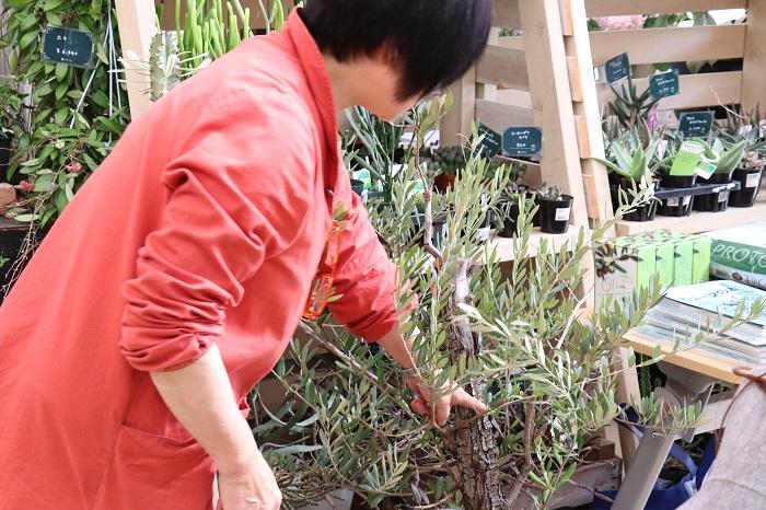 セミナー当日、店内に展示されていたオリーブを見た岡井先生は、「この位置で幹をカットしたら、かっこいい樹形になるので切ってみましょうか。」と話されました。
