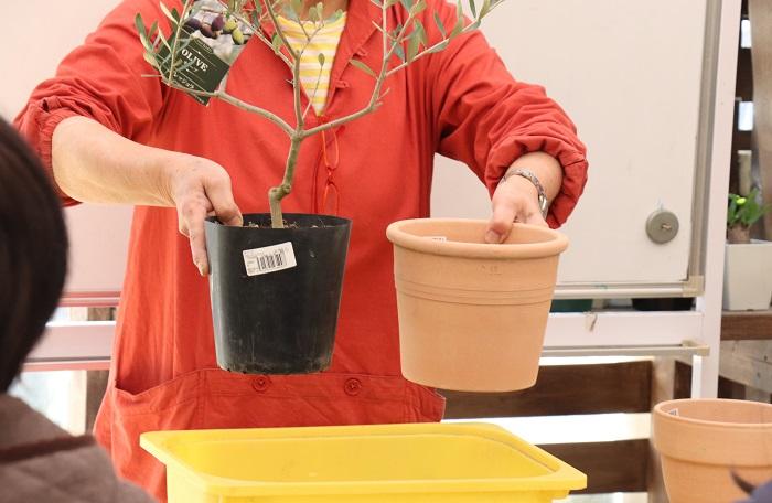 今回のセミナーは、春の植え付けから。お店で購入したオリーブの苗木は、一回りか二回り大きな鉢に植え付けましょう。たまたま参加者全員が庭植えでなく、鉢でオリーブを育てたい方だったこともあり、岡井先生は鉢に植え付ける方法をメインで教えてくれました。