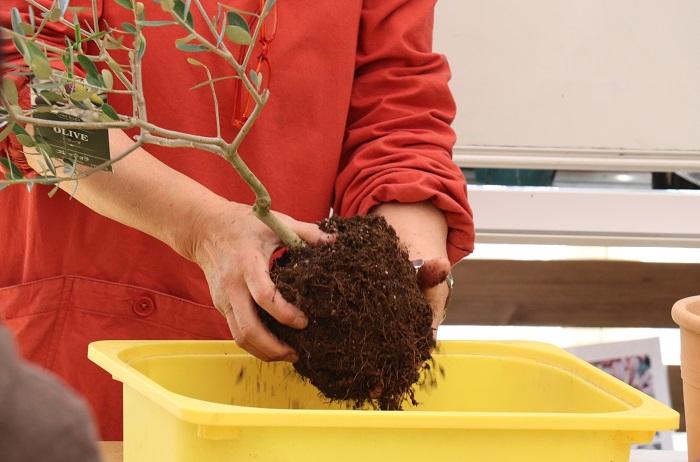 オリーブの苗木をポットから抜き出し、根をほぐしていきます。
