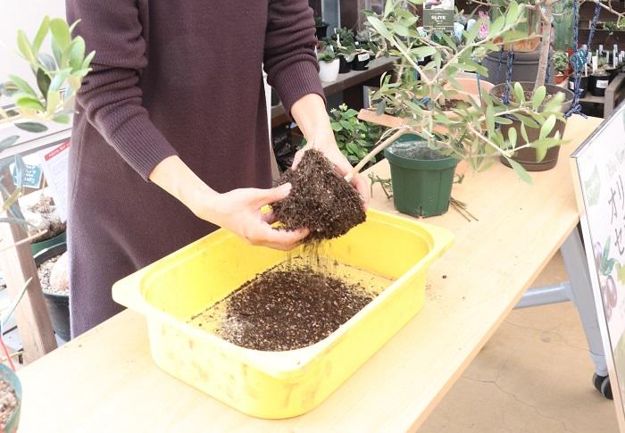 セミナーの中で、持参した2鉢のオリーブを植え替えさせていただきました。「本当は、オリーブの苗木を購入する時に根の状態を見たいくらい。それほど根は大事なんです。でも、なかなかそれはできないので、地上部の元気具合で苗を選ぶしかできないんですけどね。」と、岡井先生。