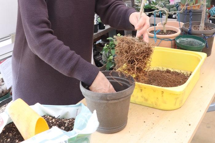 根をほぐして、新しい土に植え替えます。