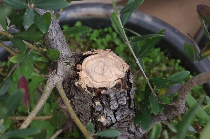 「年輪も見えるし、かっこいいでしょ。」と、岡井先生。なるほど、オリーブの年輪まで楽しむのですね!「オリーブは捨てるところが少ないの。切った幹もオブジェとして楽しんでね。」と。確かに、オリーブの幹はとっても味がありますね。